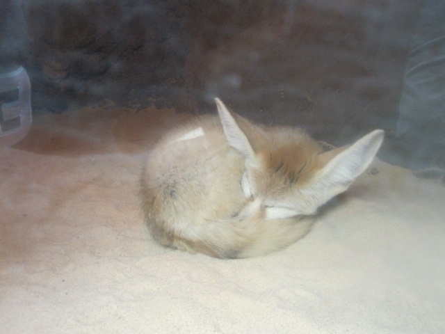 A fennec fox at the Bronx Zoo Photo Credit / Zachary Gotthardt