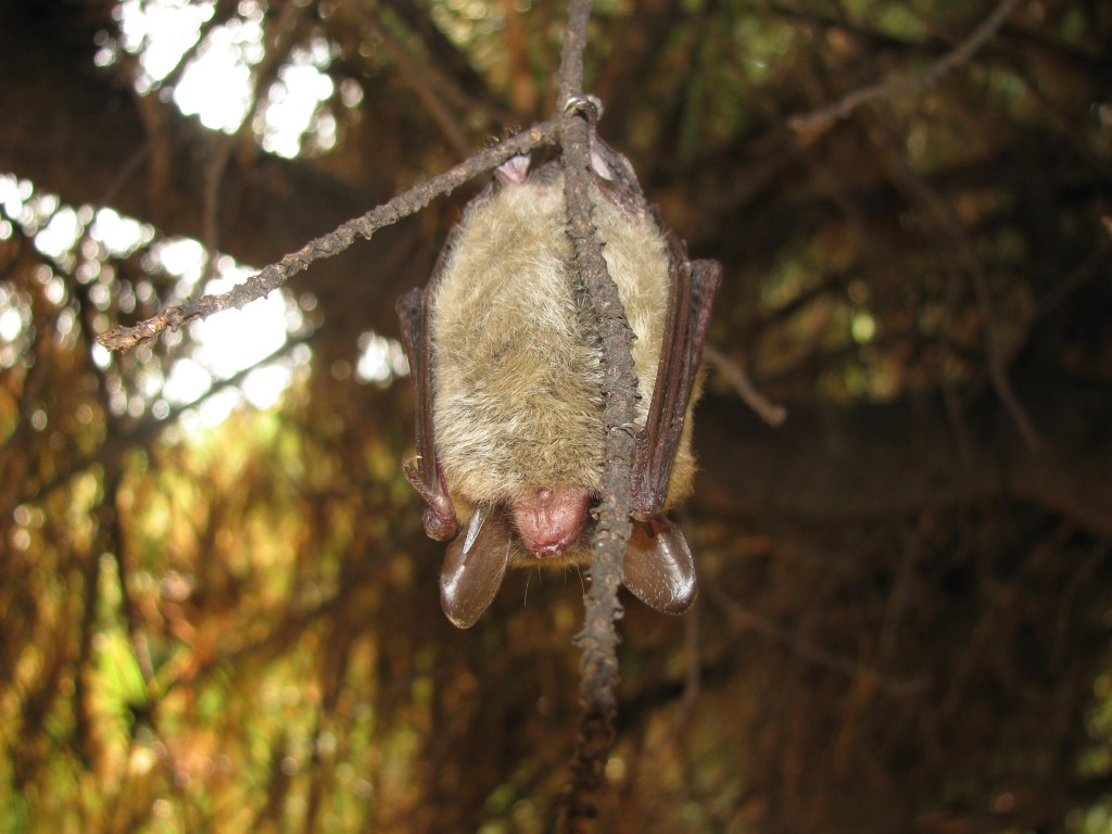A Northern Long-eared Bat hanging in front of Moore Biology. Photo Credit / Dr. Whidden