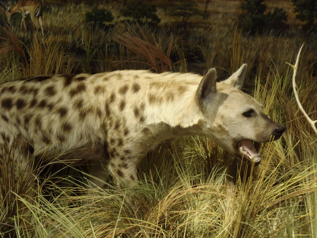 A hyena was one of the many displays in the Schisler Museum. Photo Credit / Rebecca Jasulevicz