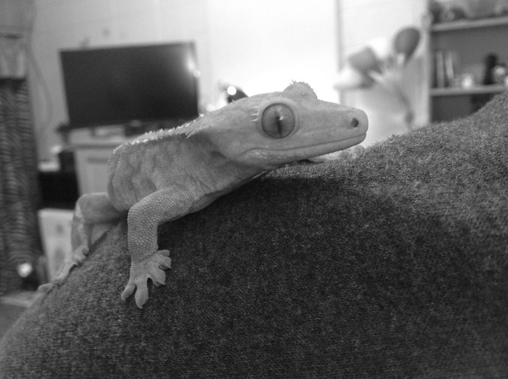On average, the crested gecko will grow eight to ten inches in length.  Photo Credit / Rebecca Jasulevicz