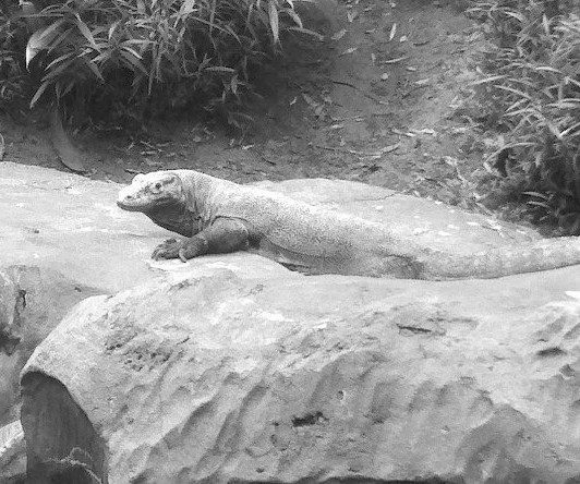 A Komodo dragon from Disney's Animal Kingdom. Photo Credit / Briana Magistro