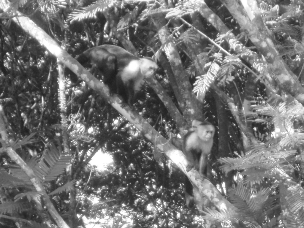 ESU's Tropical Ecosystems class travelled to Costa Rica over spring break, where the class saw white-faced capuchins in the wild.Photo Credit / Zachary Gotthardt