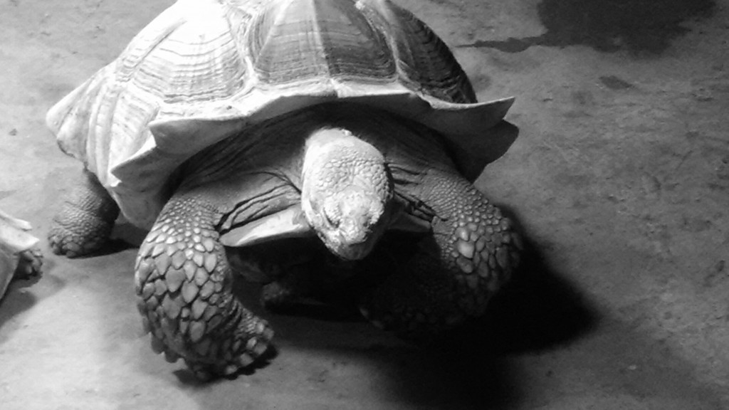 This tortoise was taken in by Noah's Lost Ark, and then donated to the Greater Cleveland Aquarium in Ohio. Photo Credit /  Briana Magistro