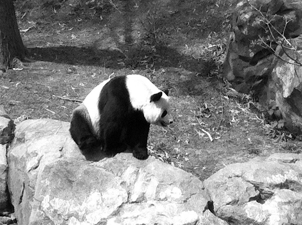 The female giant panda at the National Zoo in Washington D.C. Photo Credit / Rebecca Jasulevicz