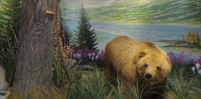 A taxidermic grizzly bear in the Schisler Museum of Wildlife and Natural History Photo Credit / Chris Powers