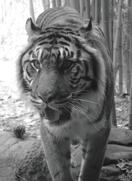 A Bengal tiger currently living in captivity. Photo Credit / Rebecca Carroll