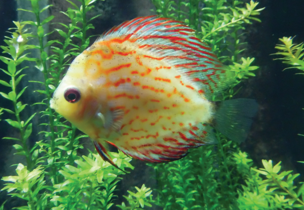 This discus fish is one of the captive-bred colorations. Photo Credit / Briana Magistro