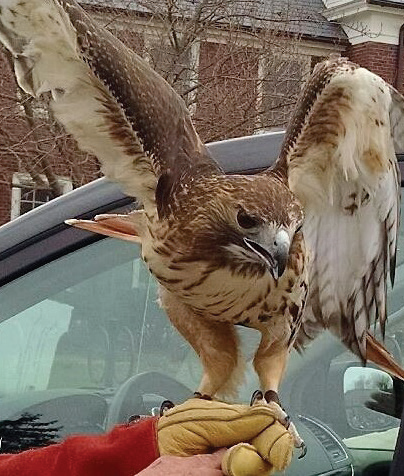 A red-tailed hawk saved by the Pocono Wildlife Rehabilitation & Education Center. Photo Credit / Briana Magistro