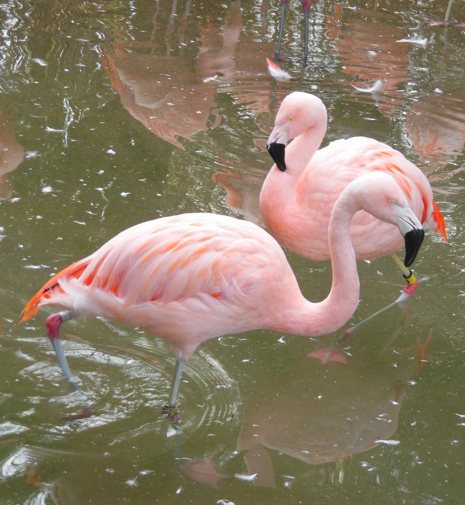 There are six species of flamingo, which live in South America, Africa, and western India. Photo Credit / Briana Magistro