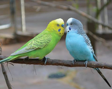"""Budgies"" have been selectively bred to possess plethora of colorations. Photo Credit / Rebecca Carroll"