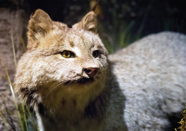 This lynx is one of the many residents of the Schisler Museum. Photo Credit / Lance Soodeen