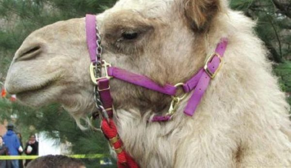 A camel at last year's Global Week. Photo Credit / Madison Petro