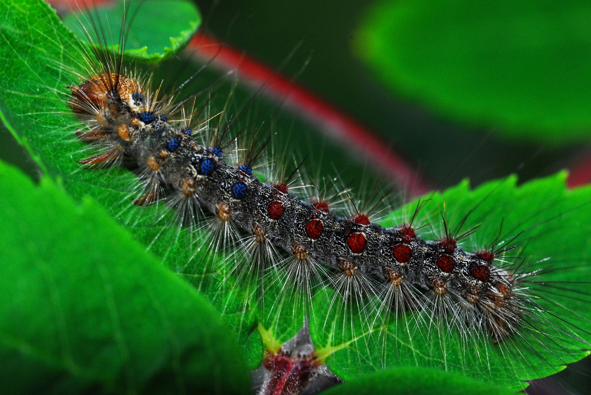 gypsy-moth-